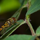 Hoverfly by DMontalbano