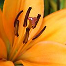 Orange Lily Macro by Astrid Ewing Photography
