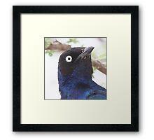Superb Starling Close-up Framed Print
