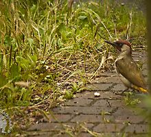 Green woodpecker 3 by yampy