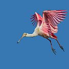 Leaping Spoonbill  by Daniel  Parent