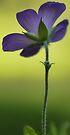 Wild Blue Geranium -- Facing the Sun by T.J. Martin