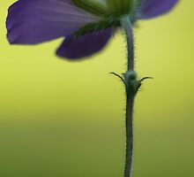 Wild Blue Geranium -- Facing the Sun by T.J. Martin