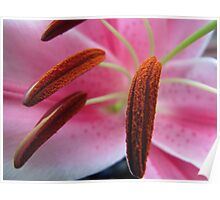 Oriental Lily Anthers Poster