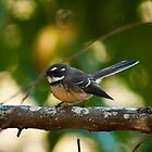 Cheeky Grey Fantail by Chris  Randall