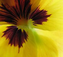 Yellow Pansy Trois by tobeandtohave