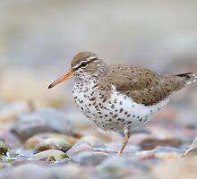 Spotted Sandpiper Roaming Among the Pebbles. by Daniel Cadieux
