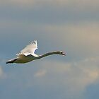 Swan in Flight by Bill  Watson