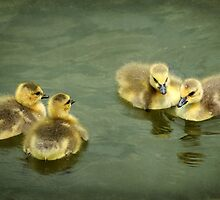 a gaggle of gossiping goslings by Tamara  Kaylor