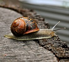 The first of the snails in my veggie garden. by Ian Berry
