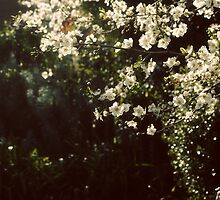 Cherry Plum blossom by wallflowerarts