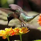 Hummingbird by Dennis Cheeseman