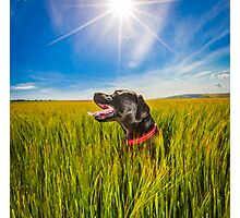 Labrador in the Fields Photographic Print