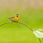 Siskin by M.S. Photography & Art