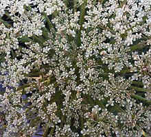 Wildfower Macro series: Queen Anne's Lace , Part Two by Max Buchheit