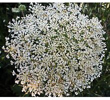 Wildfower Macro series: Queen Anne's Lace , Part One  Photographic Print
