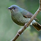 Satin Bowerbird (Female) taken at Paluma by Alwyn Simple