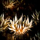 White Striped Anemone (Anthothoe Albocincta)  by Kerrod Sulter