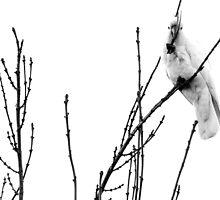 backyard cockatoo b&w by Ike Faithfull