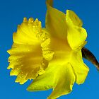 Daffodil by shadedfaces
