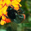 Bumble Bee on Berberis Flowers by shadedfaces