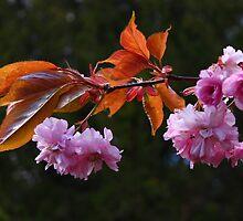 Ornamental Fruit Tree Blossom by shadedfaces