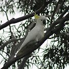 Sulphur Crested Cockatoo by Margaret Stanton