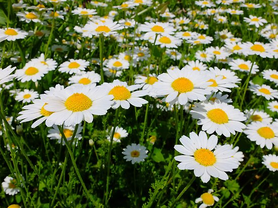 Field of daisy's by Ivo Velinov