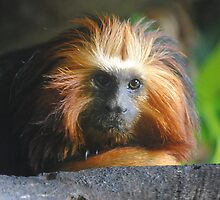 Golden-headed Lion Tamarin by Dorothy Thomson