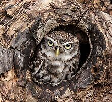 Little owl at home by Ian Hosker