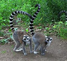 Ring-Tailed Lemur - Two of a kind by ienemien