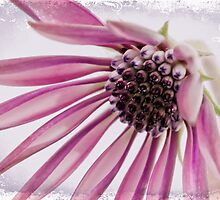 Pink Gazania by Sandra Foster