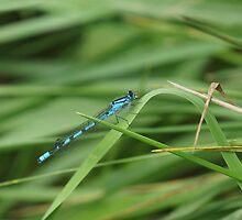 Blue Damselfly by youmeus