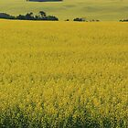 Alberta Canola Field by Jim Sauchyn