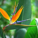 Bird of Paradise by Sunshinesmile83