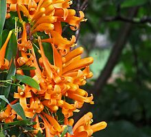 Orange Trumpet Creeper by John Vriesekolk
