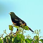 Juvenile Red-winged Blackbird - Agelaius phoeniceus by MotherNature
