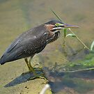 Green heron at a pond by Kate Farkas