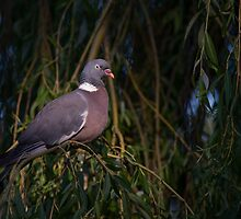 Wood Pigeon by Christopher Cullen