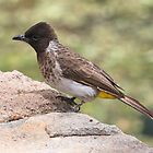 Dodson&#x27;s Bulbul by David Clarke
