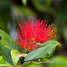 Australian Bottle Brush - Bundaberg - Australia by Anthony Wilson