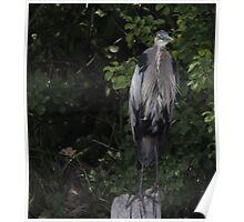 Great Blue Heron from Okauchee Wisconsin Poster
