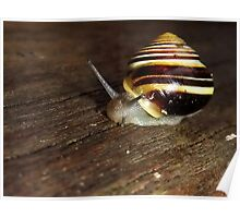 Banded Snail (Cepaea hortensis) Poster