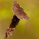 Brown Butterfly by César Torres