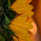 Soft Sunflower by Nicole W.
