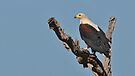 Fish Eagle of the Timbavati by Macky