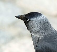 City Jackdaw by Triin Erg