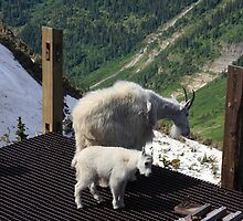 Mountain goat family II by zumi