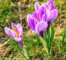 Spring Crocuses by Tom Gomez