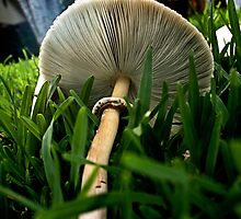 Green Spored Lepiota by HisRuin